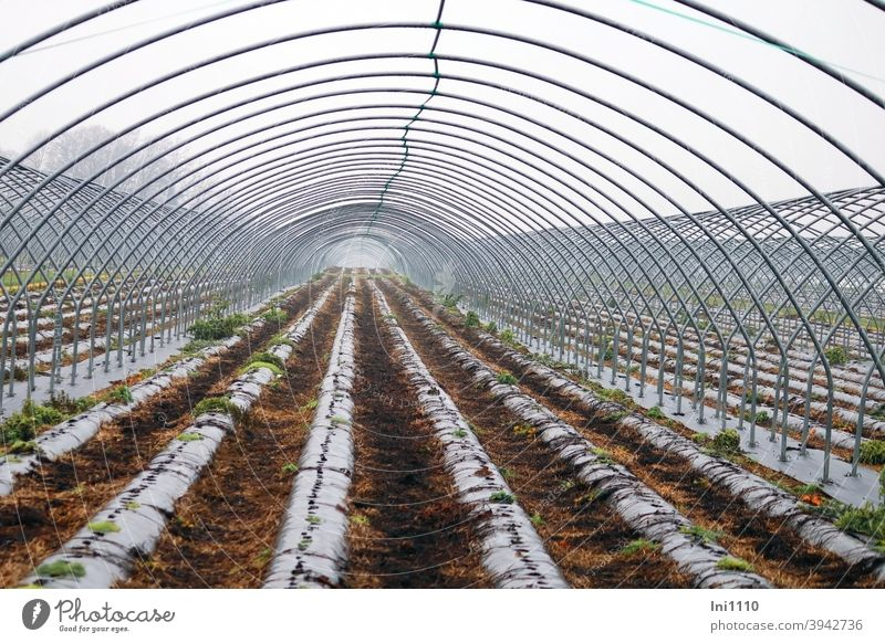 """as far as the eye can see - foil tunnel """"topless linkage Strawberry plants covered farm metal rods Field Growing strawberries flexed black foil Plant rows"""