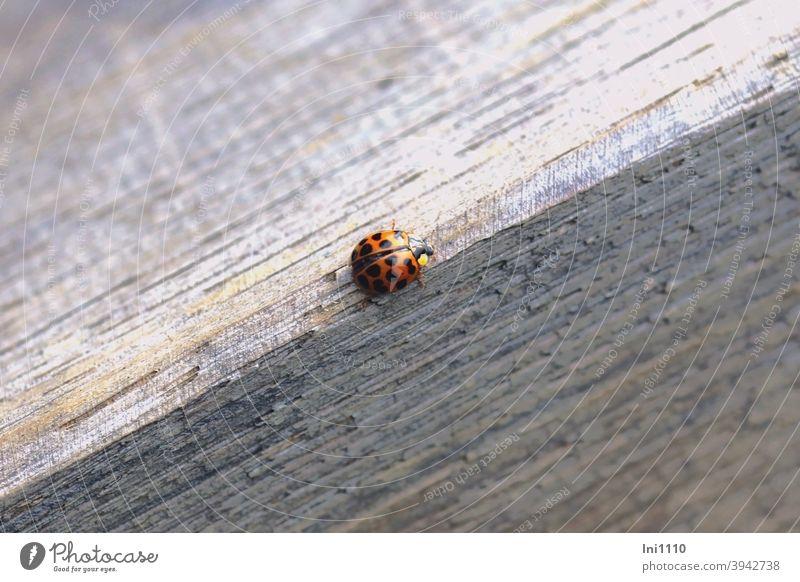 Helgiland II |Asian Ladybird Beetle Asian ladybird Good luck charm axyridine harmonica beneficial pest Garden Greenhouse Greenfly neck shield introduced