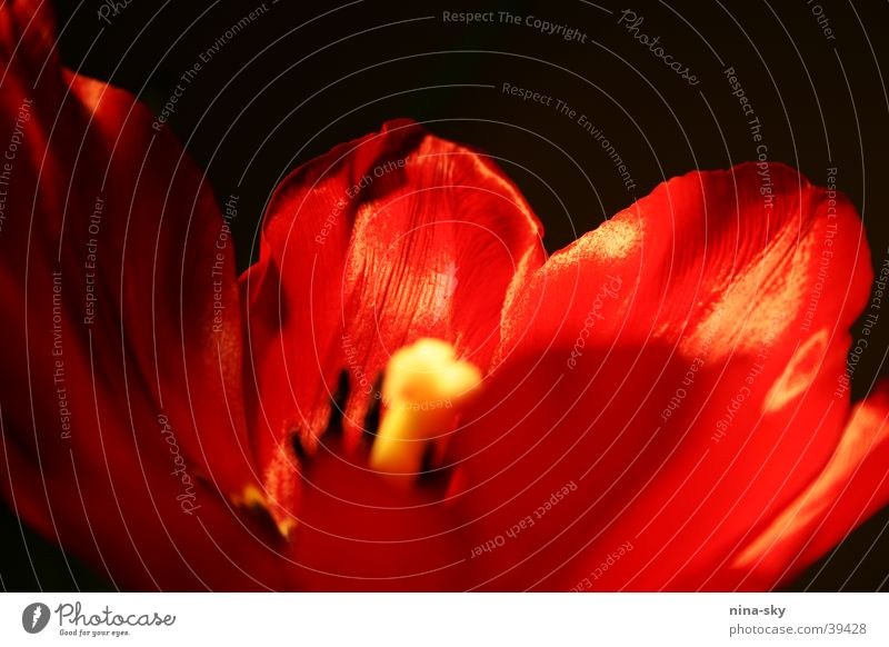 Red Leaf Black Blossom Blossoming Tulip Pistil Blossom leave