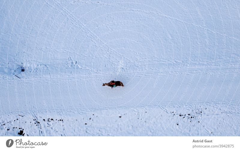 Aerial drone shot of lone female rider with horse in winter in snow Aerial photograph drone photo Horse Rider Equestrian sports Sports Winter Snow Bavaria