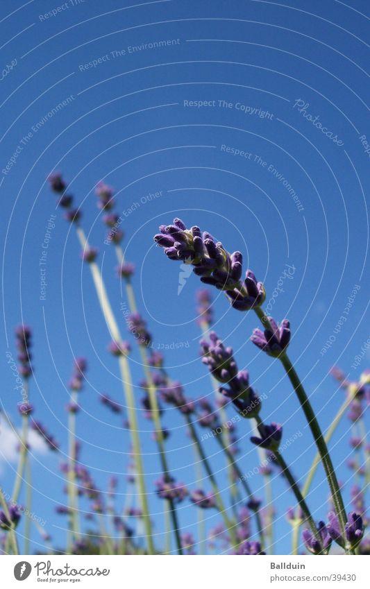 lavender Lavender Blade of grass Blossom Violet Summer Meadow Blue Sky Movement Wind Close-up Nature Upward Medicinal plant