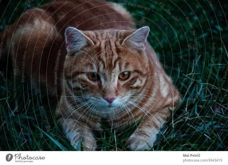 Tiger cat Cat focused Cute Orange Hunting Hunter predator Animal wildlife Carnivore Nature Beautiful furry
