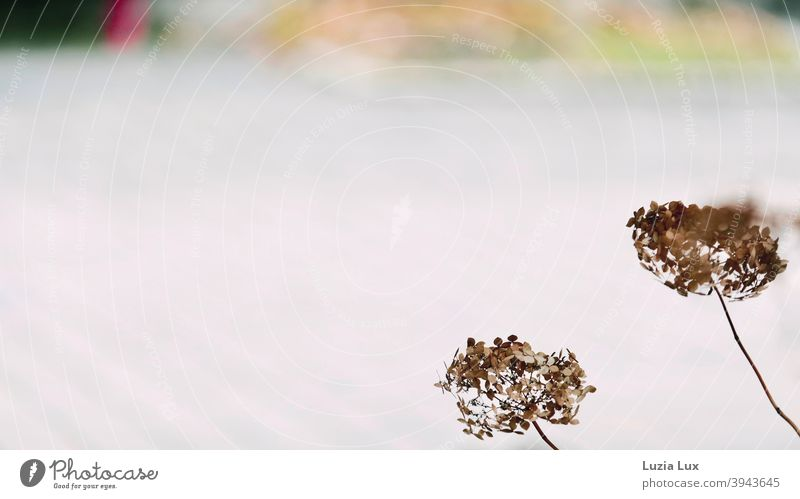 Two faded hydrangeas dance in the winter wind Hydrangea Hydrangea blossom Faded Winter Exterior shot Plant Blossom Colour photo Nature Flower Winter light Wind