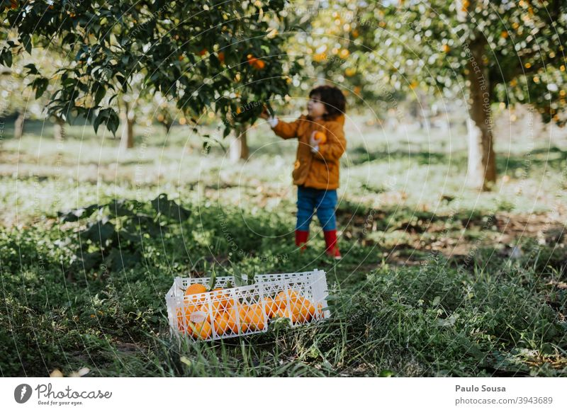 Child picking oranges from tree childhood Orange Orange juice Orange tree citrus Citrus fruits Organic produce Farm Nutrition Food Colour photo Healthy Eating