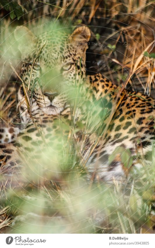 The African leopard lies hidden in the dense bushes. What a beautiful animal... Panther Namibia Safari Colour photo Animal Wild animal Nature Exterior shot