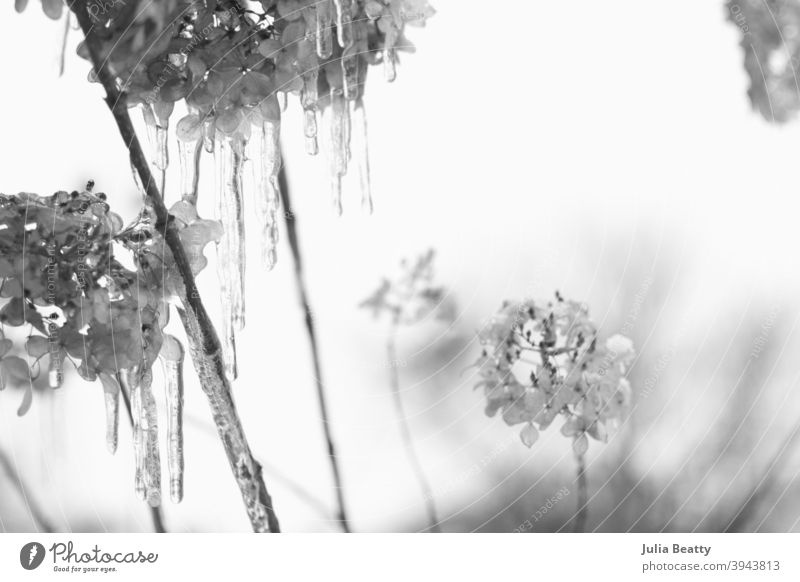 Limelight Hydrangea plants covered in snow and dripping wet icicles; black and white snow photo winter nature tree frost flower ice cold branch frozen sky