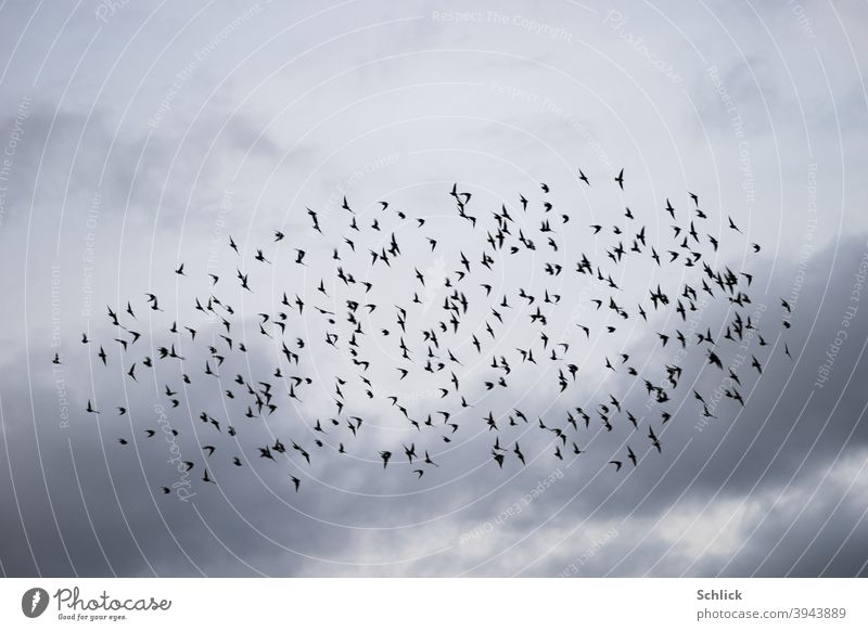 Many starlings in flight as a flock in front of cloudy sky birds Stare Flock Flock of birds Sky Clouds Aves Flying Bird Nature Exterior shot Group of animals