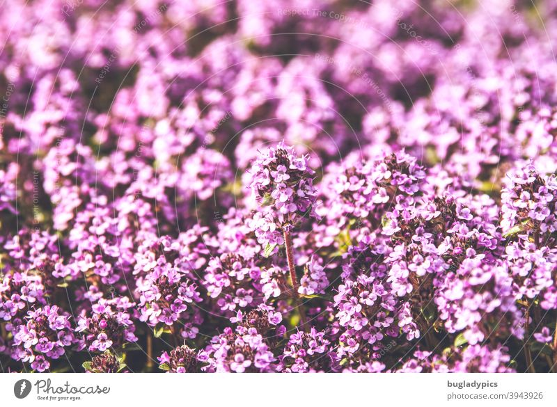 Cheeky little flower - thyme Thyme flowers plants Plant Flowering plant Blossoming sea of blossoms purple Pink pink spices Herbs and spices Herb garden Garden