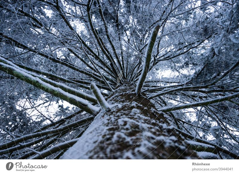 View upwards at the trunk of a snow covered fir tree Winter Snow Tree Sky Branch protective overhead Perspective Protection Above Tree trunk Nature Forest