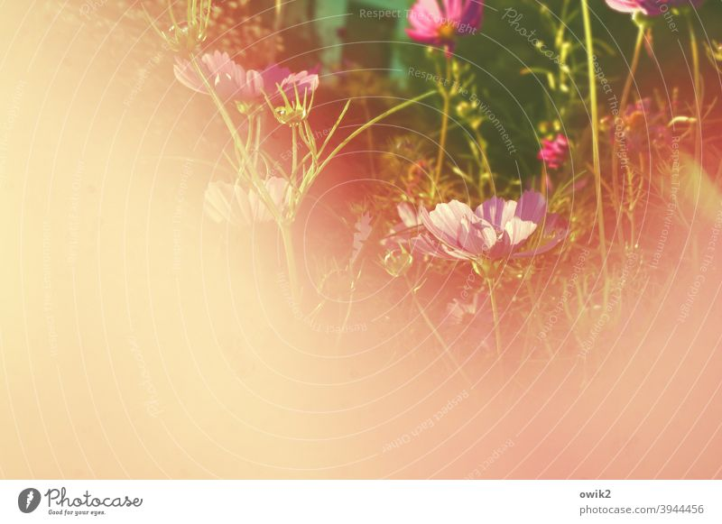 Piggy pink garden Idyll Plant Morning naturally Bright Growth Close-up Meadow blades of grass Detail Flower meadow Blossom Spring Exterior shot Near Small