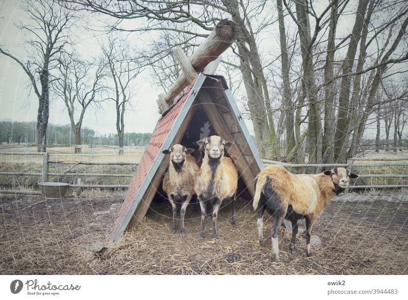 petting zoo Animal family Sheep camera sheep 3 Farm animal Meadow Grass Together Stand Looking Attentive Testing & Control Watchfulness Protection Caution