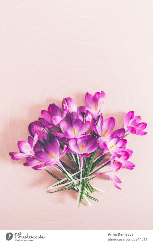 Layout from crocus flowers march spring bloom purple springtime botanical happiness april beautiful leaf spring crocus floral violet spring flower crocuses
