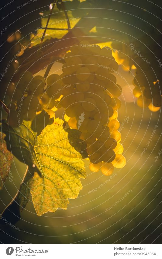 Grape in the backlight Vine Bunch of grapes Wine growing Vineyard Back-light Green Plant Agriculture Nature Close-up vine Exterior shot Winery Autumn Landscape