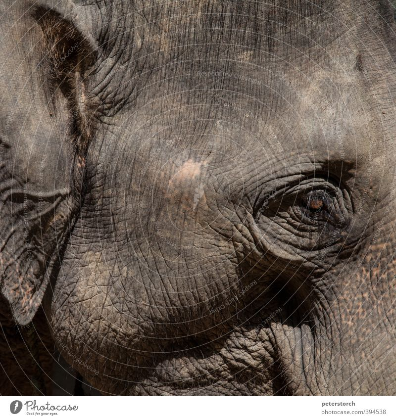 elephant Vacation & Travel Far-off places Animal Animal face Elephant 1 Power Peaceful Watchfulness Serene Calm Smart Adventure Colour photo Exterior shot