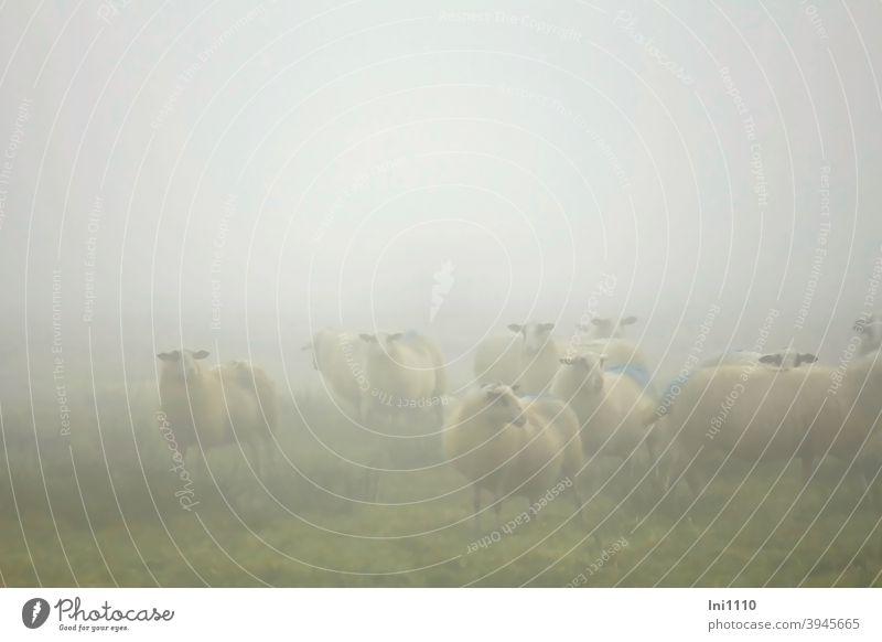 Sheep in the morning mist Autumn Fog Morning fog Bog sheep Flock Meadow inquisitorial look hazy foggy marked Moody sheep's wool Farm animals Herd