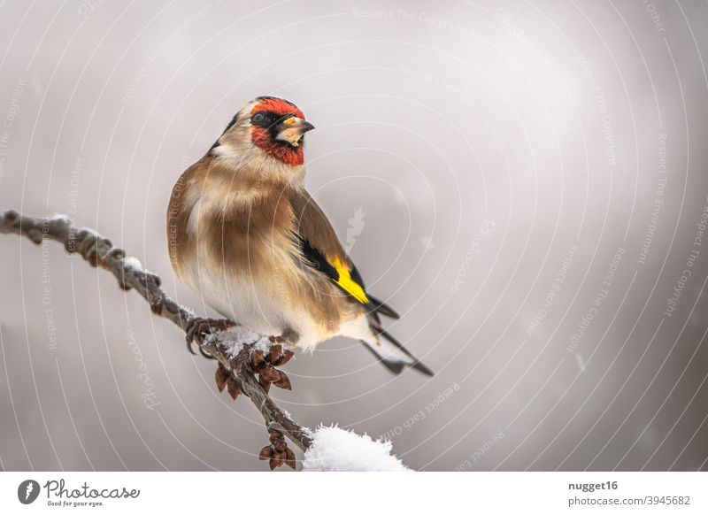 goldfinch / goldfinch on branch Bird Nature Animal Exterior shot Colour photo 1 Wild animal Animal portrait Environment naturally Day Deserted