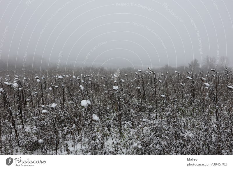 First snow on a field with sunflowers ice cream Frost cold Winter landscape abstract autumn background beautiful beauty bright brown clouds color colorful copy