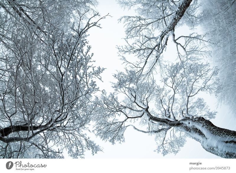 Trees in winter with the view to the sky trees Snowfall Foliage plant Treetop Together Attachment Relaxation Winter mood Winter forest Colossus Contrast