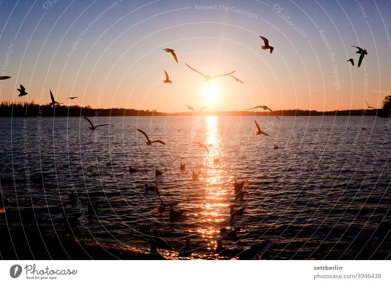 Lake Tegel with seagulls in front of the setting sun Trip Berlin Inland waters Twilight Back-light greenwichpromenade Channel Seagull Sun Sunset spazirgang