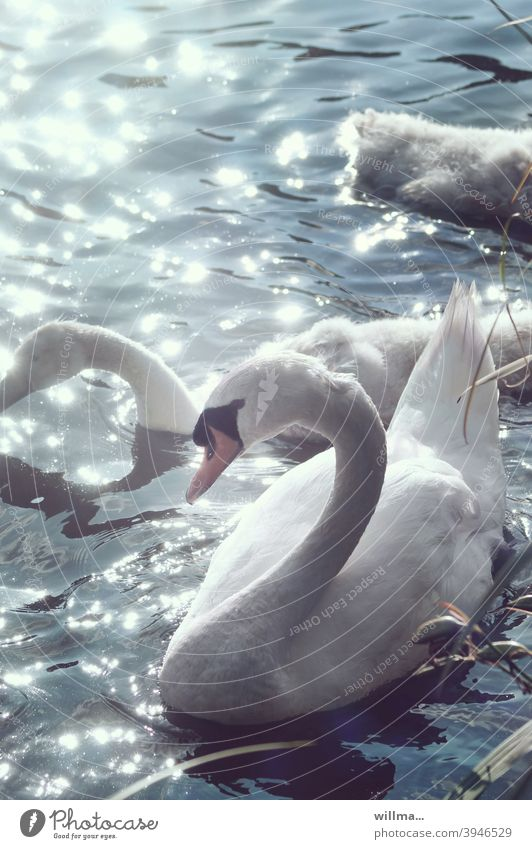 swan lake Swan White Water Lake sparkle Sunlight reflection daintily pretty Aesthetics Swan Boy Elegant Mute swan waterfowl reflective Graceful gooseneck