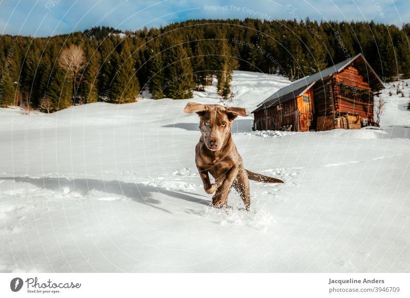 a Labrador dog has fun in the snow Labrador retriever Dog ears Animal Pet Animal portrait Exterior shot Joy Brown Deserted Nature Happy Copy Space left