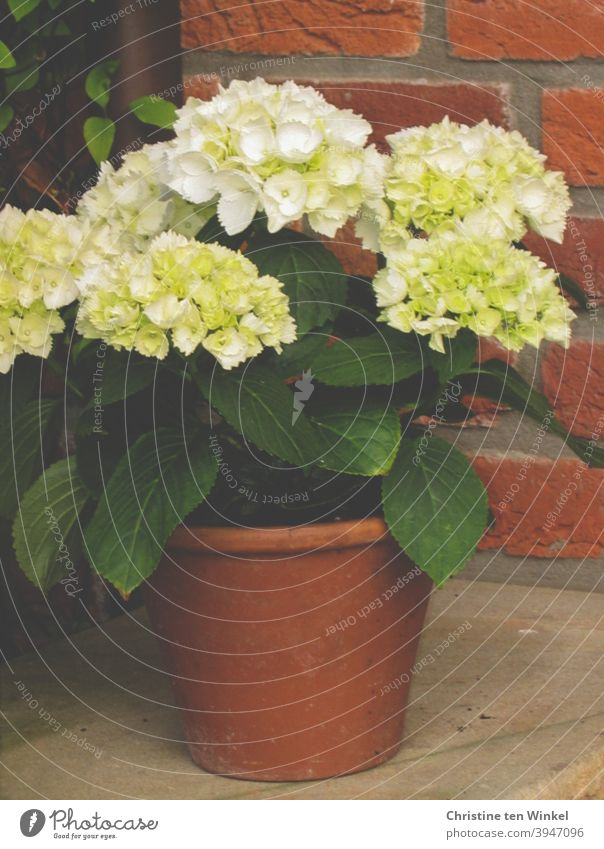 *500* A small white hydrangea in a clay pot stands outside on sandstone in front of a red brick facade Hydrangea Hydrangea blossom Hydrangea leaf Pot plant