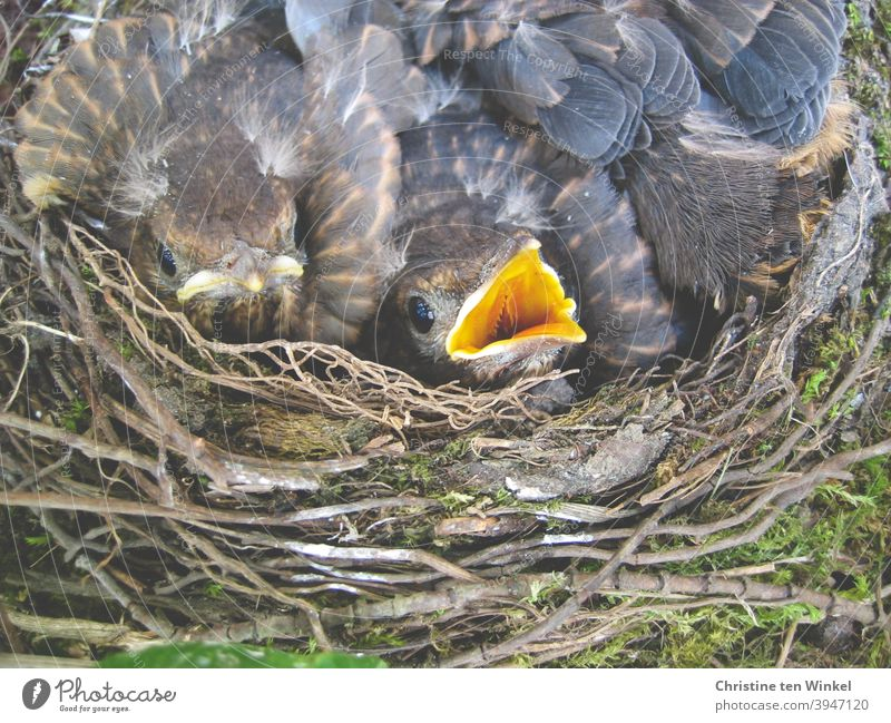 Four little blackbirds in their nest. They are lying close together, you can see two little heads, one young one has opened its beak. Blackbirds