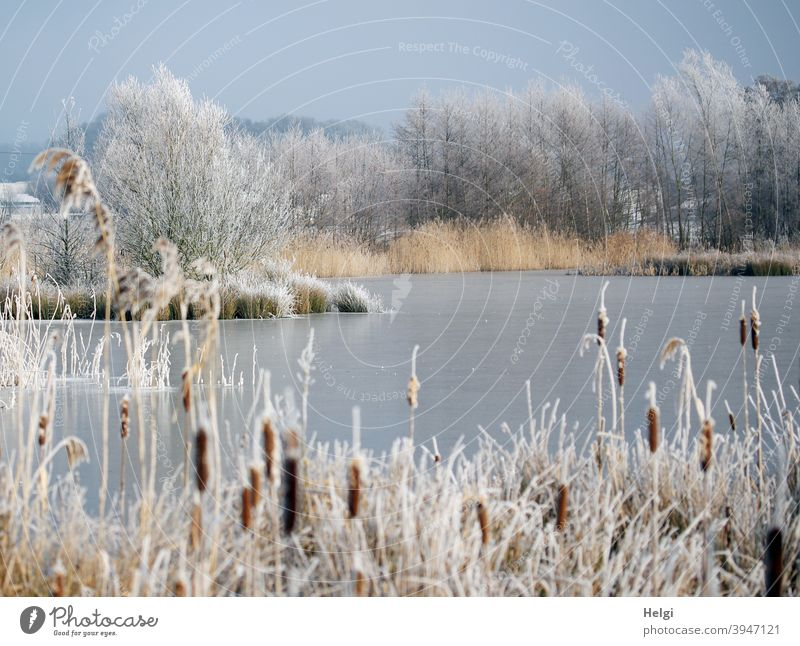 Winter at the pond - frozen pond, plants and bushes on the shore covered with hoarfrost Hoar frost Pond Lake Lakeside Cattail (Typha) Plant reed shrub Tree