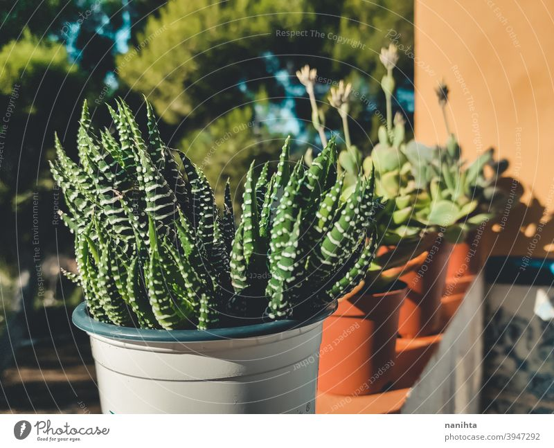 Haworthia succulent plant in a pot gardening exotic potted plant texture organic cactus crassulaceae leaves exotic plant green leaves no people nobody sun sunny