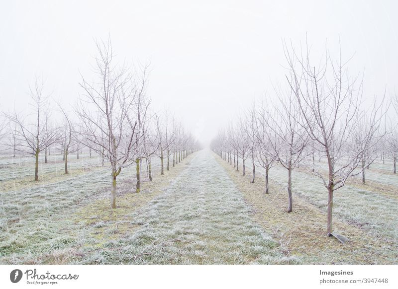 Fruit tree plum trees plantation after a freezing rain storm in winter and on a day with fog. Winter frosty fruit tree landscape covered by white flake ice.