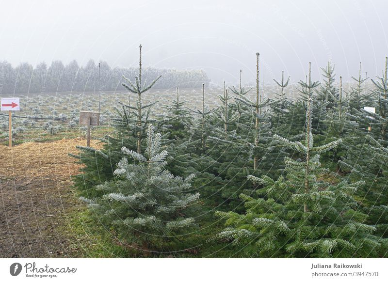 Fir trees in the fog Tree Winter Snow Cold White Ice Frost Nature Exterior shot Deserted Colour photo Day Forest Environment Plant Landscape Subdued colour