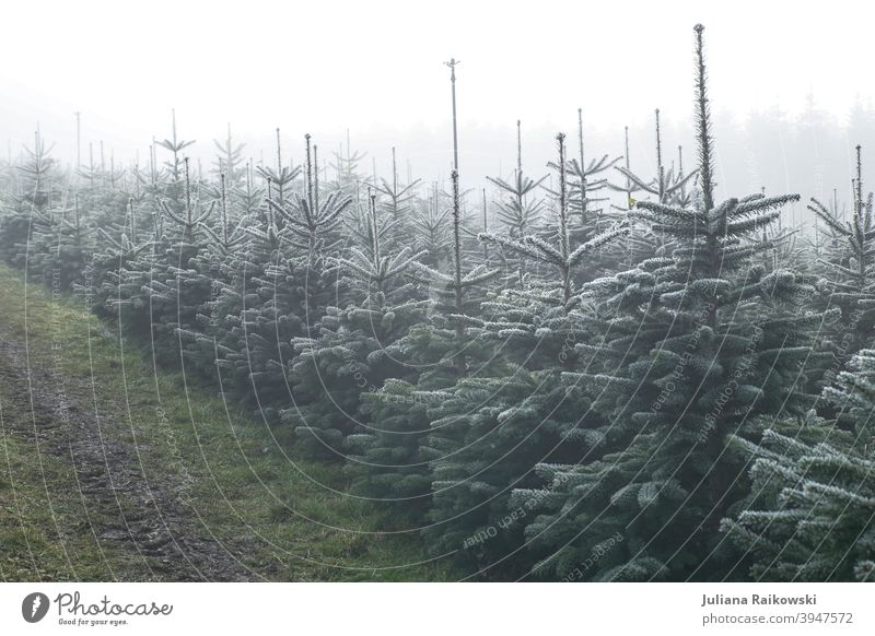 Christmas tree plantation in the fog Fir tree Tree Winter Snow Cold Ice Frost Nature Exterior shot White Deserted Colour photo Day Forest Environment Plant