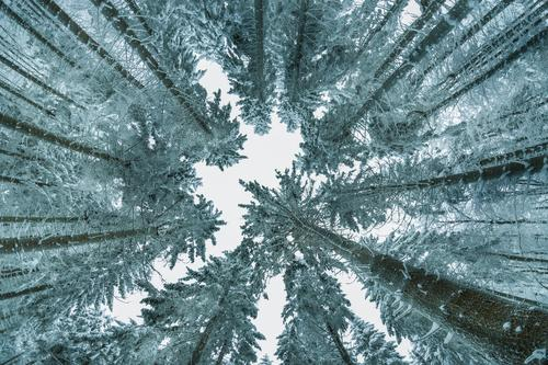 View into a winter sky with high treetops and conifers Coniferous trees Coniferous forest Nature Exterior shot Deserted Winter Ice Snow Worm's-eye view Frost