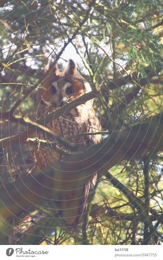 Long-eared owl hidden by twigs and branches Bird Wild animal Owl eyes Animal portrait Branches and twigs Garden during the day August Head plumage Observe Face