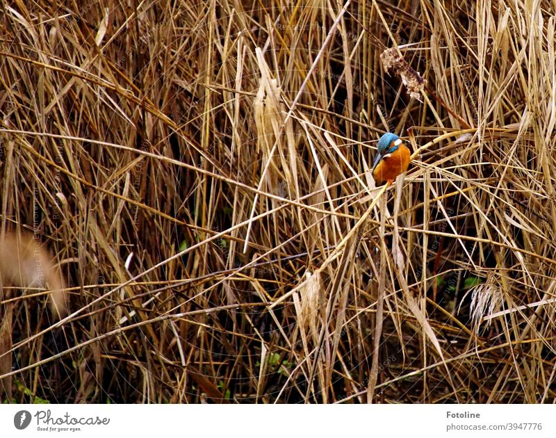 The small kingfisher sits on a reed stalk and watches its next prey. Kingfisher Bird Animal Exterior shot Colour photo Wild animal 1 Nature Environment