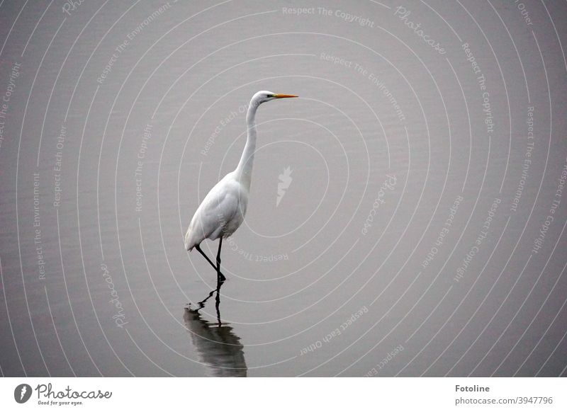 Stealthily, very quietly and carefully, the great egret stalks through the shallow water to catch fish. Heron Great egret Bird Animal Nature Colour photo