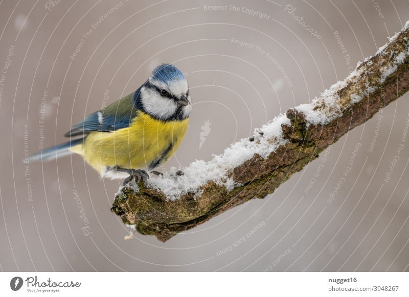 Blue tit on branch Tit mouse Bird Animal Cute Animal portrait winter feeding Colour photo 1 Exterior shot Day Nature Deserted Wild animal Environment naturally