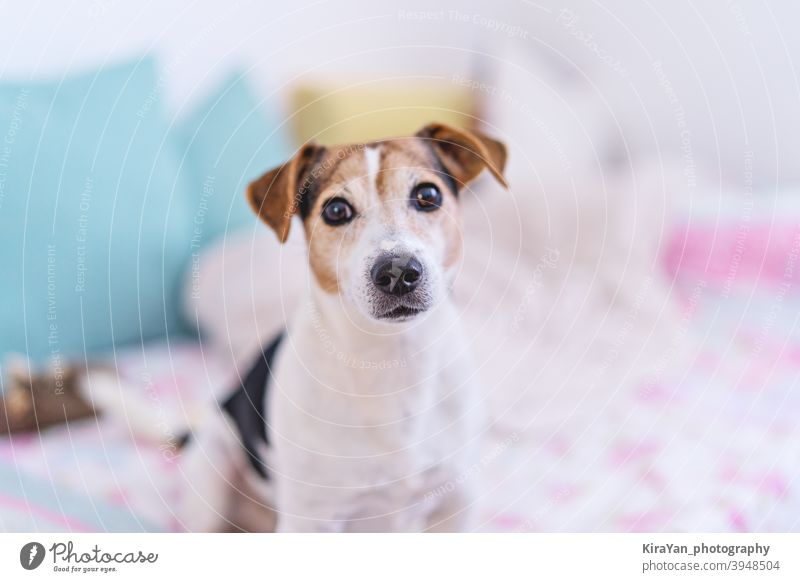 Dog looking at camera, portrait of jack russell terrier in pastel bedroom interior, soft focus dog jack russell terrir eye nose cute pet pastel color light