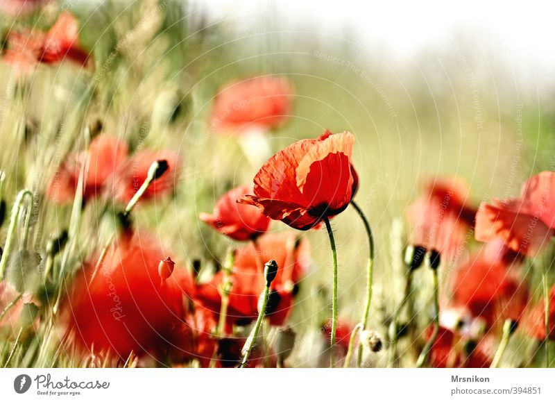 poppy Summer Plant Flower Blossom Poppy Poppy blossom Poppy field Poppy capsule Poppy leaf Meadow Field Warmth Red Colour photo Exterior shot Copy Space right