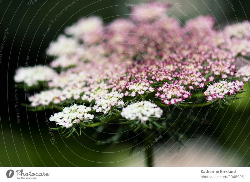 Pink Queen Ann's Lace Macro queen anns lace carrot wild Green pink purple white meadow field closeup Nature Natural wildflower Floral Flower native Summer