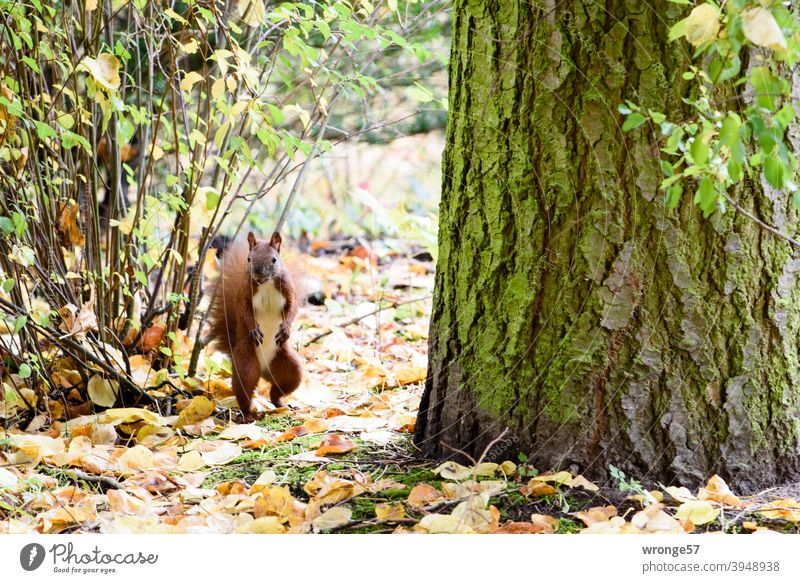 And it clicked - startled, the squirrel looked in the photographer's direction Squirrel Autumn Autumn leaves Autumnal colours autumn colours Nature