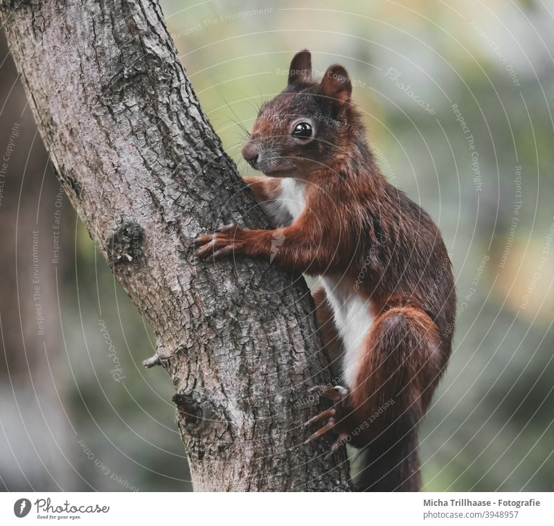 Squirrel hanging from tree trunk sciurus vulgaris Animal portrait Animal face Head eyes Ear Nose Muzzle paws Wild animal Tree Beautiful weather sunshine
