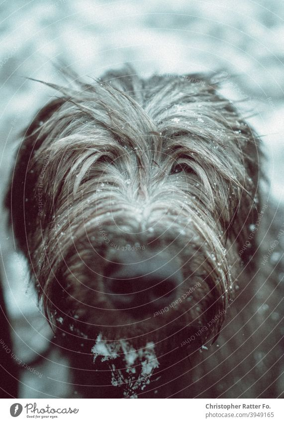 Cold snout. A disheveled dog looks into the camera during a winter walk in the snow. pretty Winter walk To go for a walk winter landscape Seasons chill December