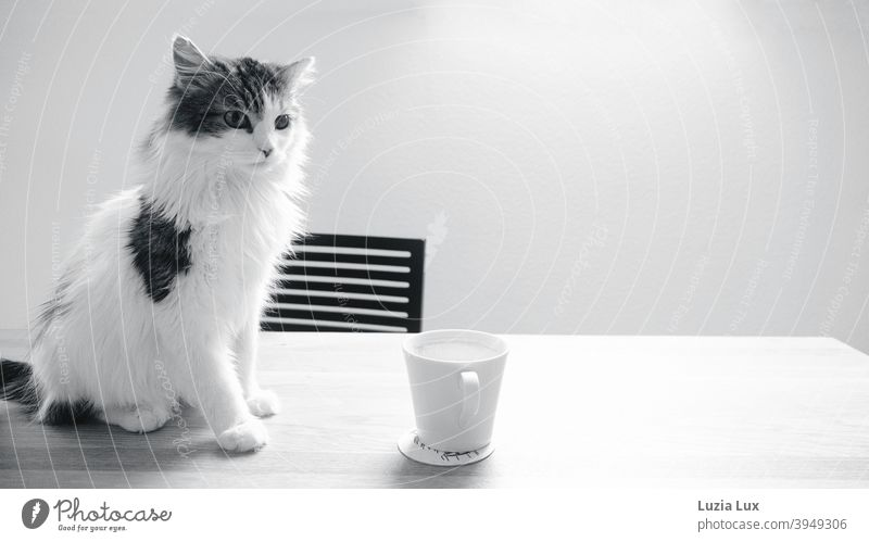 Puss, long hair mix sits on a wooden table in front of an empty coffee cup Cat hangover Longhaired cat Long-haired Black & white photo black-and-white Looking