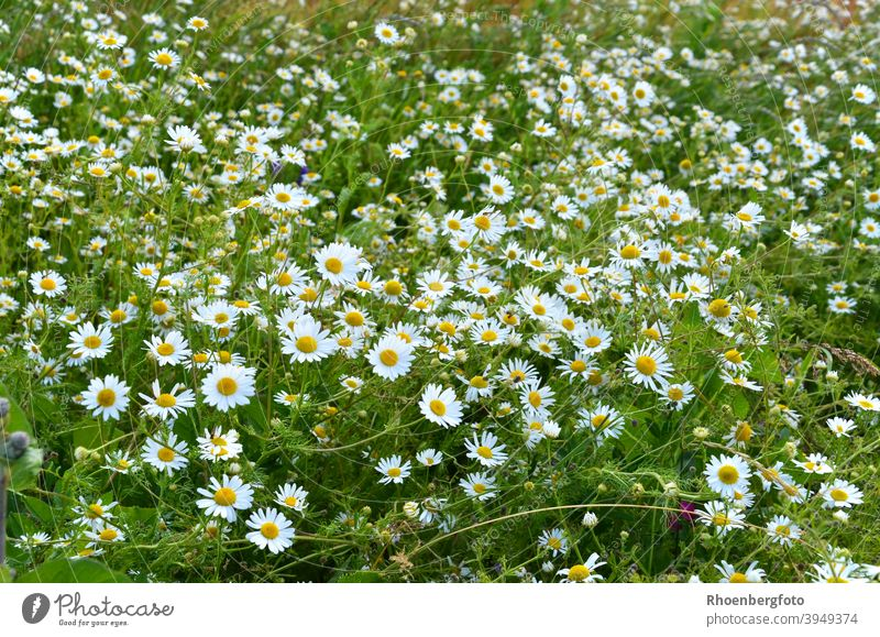 blooming camomile flowers in the garden Chamomile blossoms real chamomilla matricaria Flower Field Nature Summer Landscape Tea Weed medicinal plant White Green