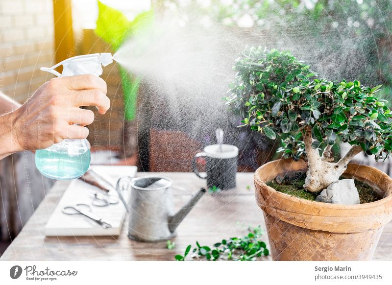 Man watering bonsai leaves. care man garden old hobby plant asian gardening senior 40s green growth organic nature cultivate gardener agriculture home spring