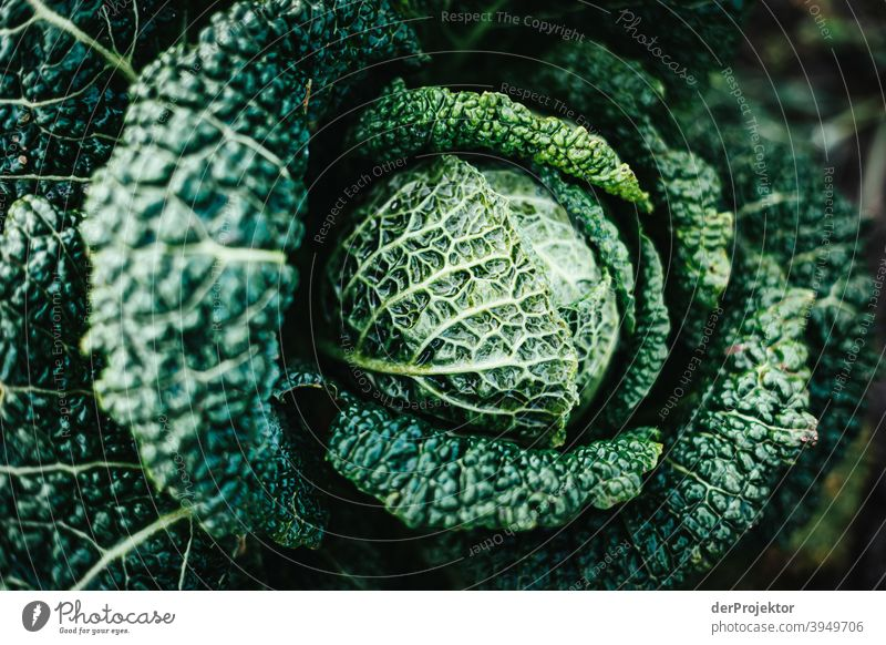 Organic cabbage in winter in the field in Brandenburg VI Central perspective Shallow depth of field Sunlight Contrast Shadow Light Day Copy Space middle