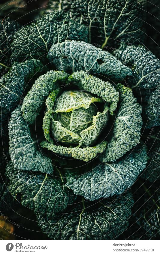 Organic cabbage in winter in the field in Brandenburg IV Central perspective Shallow depth of field Sunlight Contrast Shadow Light Day Copy Space middle