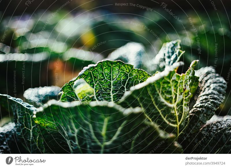 Organic cabbage in winter in the field in Brandenburg III Central perspective Shallow depth of field Sunlight Contrast Shadow Light Day Copy Space middle