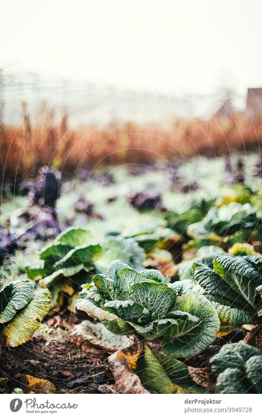 Organic cabbage in winter in the field in Brandenburg II Central perspective Shallow depth of field Sunlight Contrast Shadow Light Day Copy Space middle